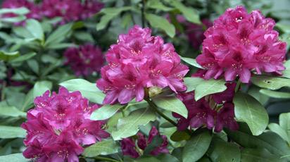 Рододендрон в саду и дома: особенности посадки и ухода