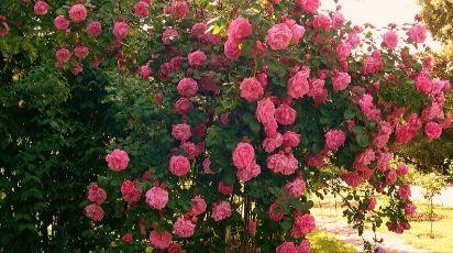 Чем подкормить розы осенью: подробно об удобрениях