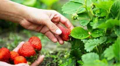 Ни дня без ягод: как собирать земляничный урожай все лето