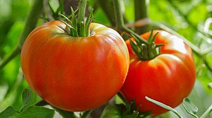 Томаты – от посева на рассаду до высадки в открытый грунт
