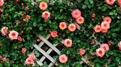 ТОП-10 сортов роз, у которых долго держится цветок
