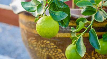 ТОП-3 простых способа выращивания лайма дома