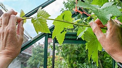 Уход за виноградом в течение года: план работ по месяцам
