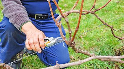 Осень: время готовить виноградники к зиме