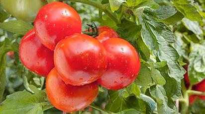 Ведро помидоров с куста в августе? Легко!