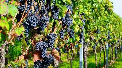 Виноград на участке: посадка, уход и обрезка