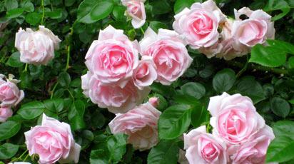 Выбираем розы для сада: 5 причин посадить флорибунду