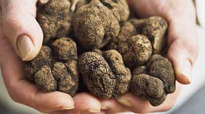 Выращивание трюфелей своими руками