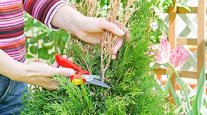 Выращивание туи: посадка и уход за деревом жизни