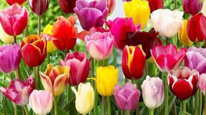 Выращивание тюльпанов: агротехника, секреты, лайфхаки