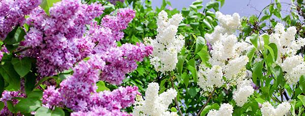 Цветущий май – план весенних работ в цветнике