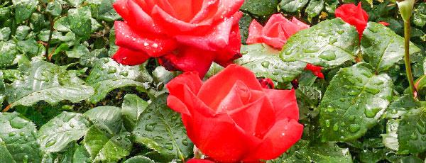Гусеницы на розах: как предотвратить