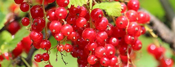 Идеальная ягода – секреты хорошего урожая смородины