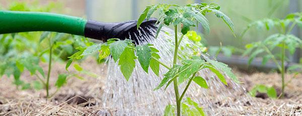 Июньский уход за томатами в теплице и открытом грунте — лето без пустоцвета