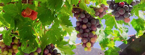 Как правильно сажать виноград и ухаживать за ним в первый год