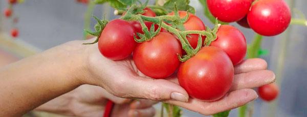 Как выращивать отличные помидоры в любой год: секреты «ленивых» дачников