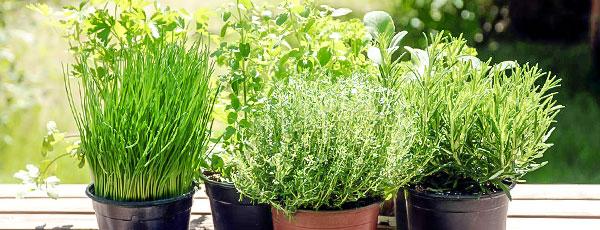 Как выращивать зелень на подоконнике – правила создания мини-огорода