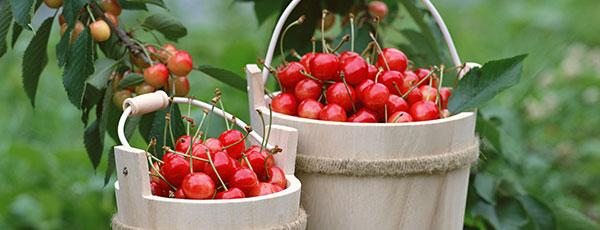 Какую вишню посадить в саду – свежая подборка популярных сортов