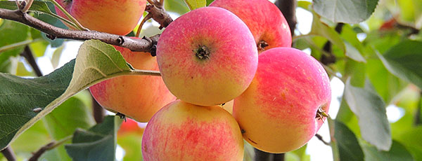 Какую яблоню посадить на даче – критерии правильного выбора