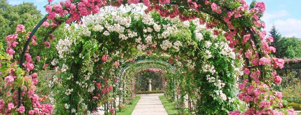 Клаймберы и рамблеры - волшебство плетистых роз