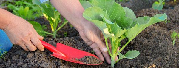 Когда можно высаживать рассаду в теплицу и грунт