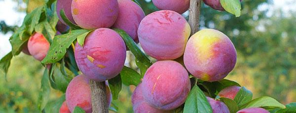 Колоновидные саженцы плодовых деревьев – находка для маленького сада
