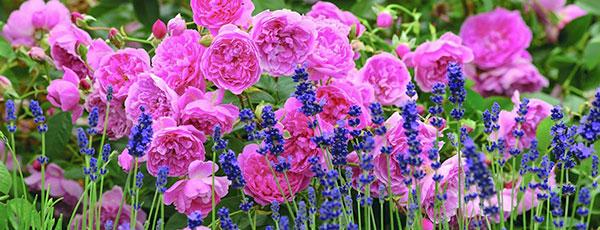 Лаванда и розы — гармония цвета и аромата