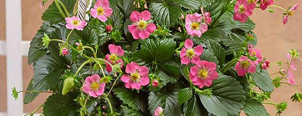 Нарядная розовоцветная клубника – сорта и преимущества