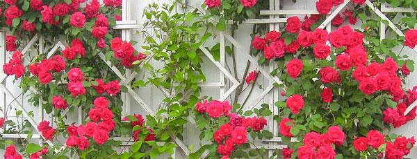Плетистая роза – уход и обрезка по правилам
