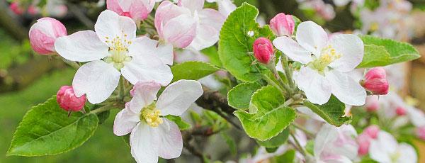Подкормка яблонь весной – какие удобрения нужно иметь под рукой