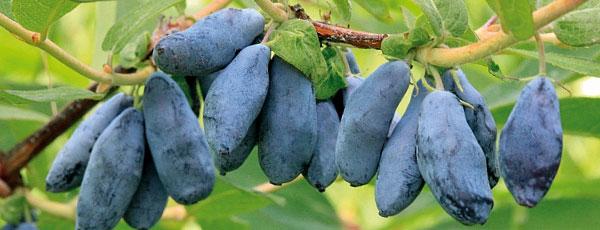 Посадка жимолости весной – секреты выращивания вкусной синеплодки