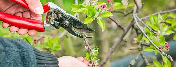 Правильная обрезка яблони весной – повышаем урожайность в 2 раза