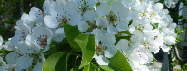 Правильная посадка и уход за грушами весной
