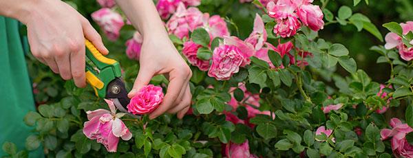 Правильный уход за розами летом – дача утонет в цветах!