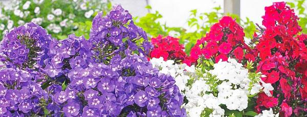 Разноцветные облака – флоксы в дизайне сада