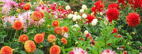 Роскошные георгины в вашем саду – посадка и уход