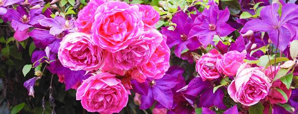 Роза и клематис в ландшафтном дизайне – секреты гармоничного союза