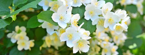 Садовый жасмин — самый ароматный кустарник в вашем саду