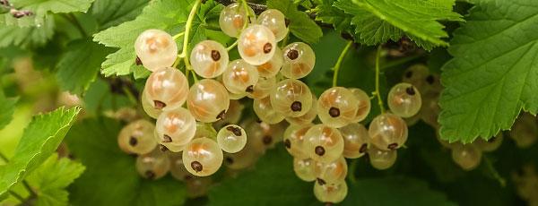Удобряем ягодные кустарники – секреты сезонной подкормки