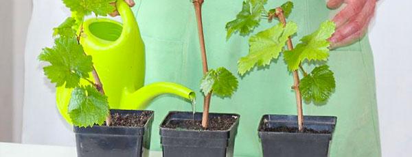 Укореняем черенки винограда зимой – 3 проверенных метода