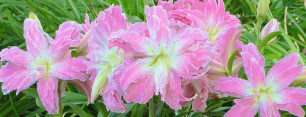 Украшаем сад по-королевски – сажаем лилии весной