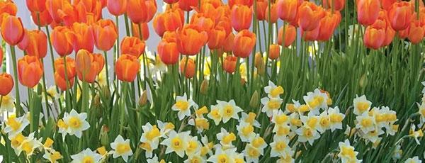 Выкапываем тюльпаны, нарциссы, гиацинты и крокусы – когда, зачем и как