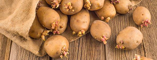 Яровизация картофеля: зачем, когда, как
