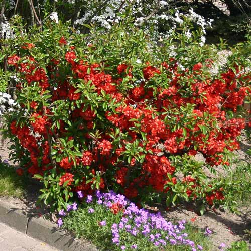 Айва японская Ред Джой изображение 1 артикул 9203