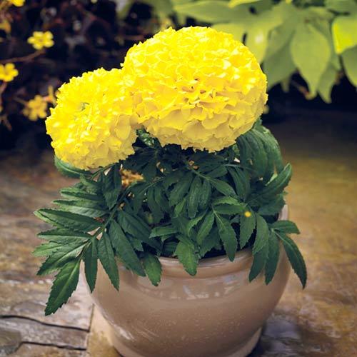 Бархатцы Прауд Мэри желтые F1 изображение 1 артикул 65813