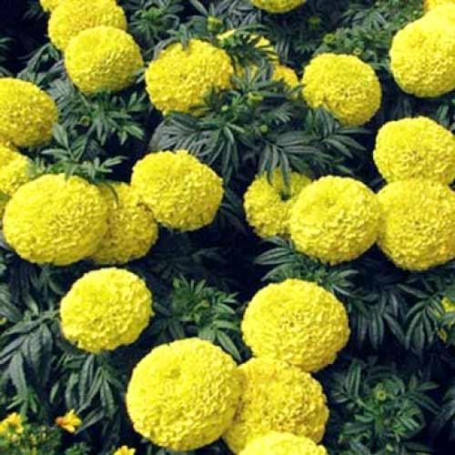 Бархатцы Прауд Мэри желтые F1 изображение 2 артикул 65813