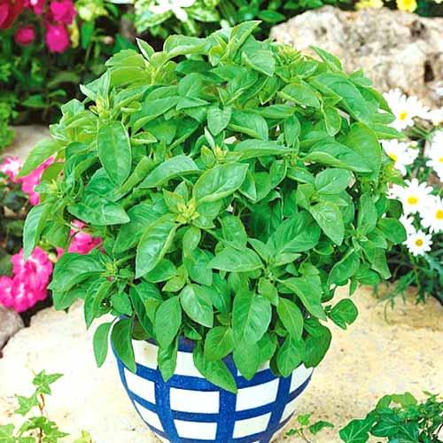 Базилик Зеленый ароматный изображение 1 артикул 78330