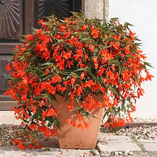 Бегония боливийская Триумф красная F1, семена изображение 1 артикул 66029