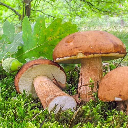 Белый гриб дубовый изображение 2 артикул 9766