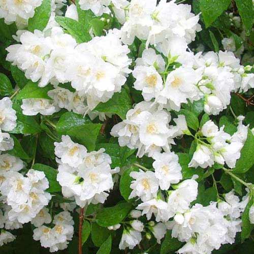 Жасмин садовый (чубушник) Мон Блан